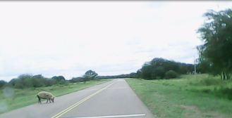 Pig on the road Porco na estrada